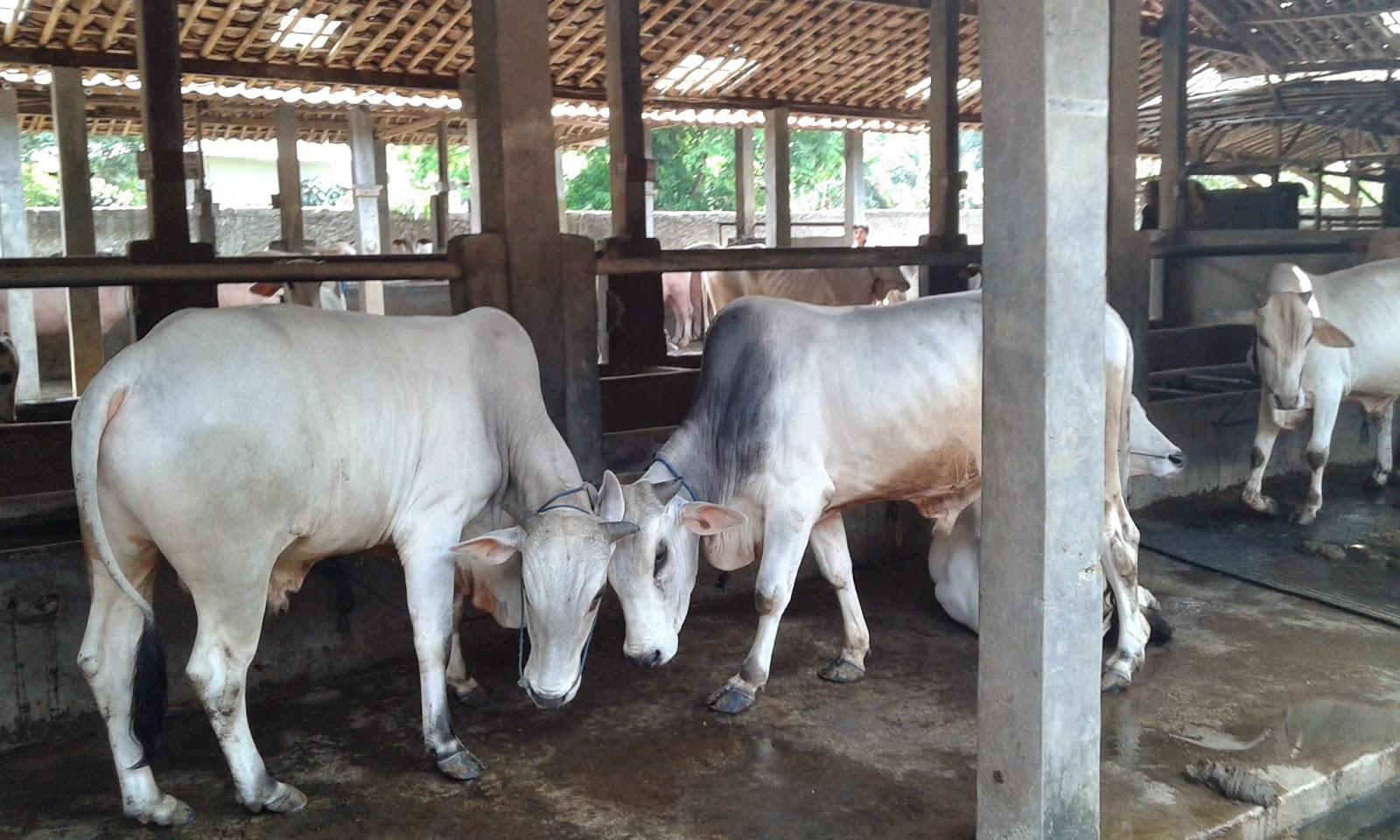 Wisata Edukasi Dkandang Dkandang Farm Merupakan Agrowisata